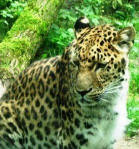 Patenschaft Amur-Leopard 2006 Zoo Zoologischer Garten Gemeinschaftsstiftung Mein Augsburg Rathaus Augsburger Stiftung für Bürger und Freunde der Fuggerstadt